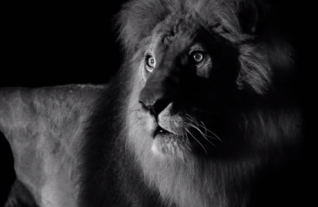 The Lion / Coco Chanel
